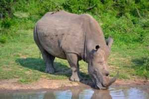Rhino in Tala on day safari from Durban