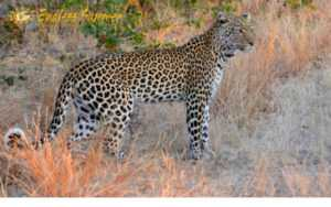 Leopard takes on porcupine whilst on Kruger Park safari tours in Kruger National Park