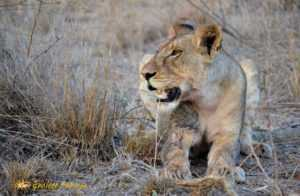 Lion, one of the big 5 seen on hluhluwe imfolozi safari