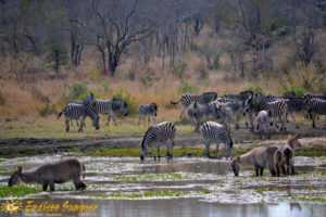 Plains game drink at waterhole in Tala Game Reserve safari
