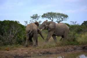 Bull Elephants wrestle on safari Hluhluwe iMfolozi Game Reserve