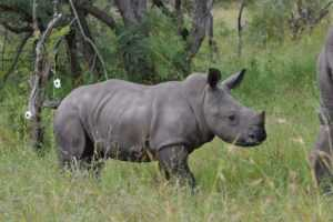 Baby rhino seen on our Hluhluwe Umfolozi Safari from Durban
