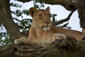 Lioness seen in a tree in the on day safari to Hluhluwe Umfolozi Game Reserve