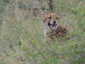 Cheetah calling on safari in Kruger National Park
