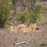 Lioness kills warthog in the Kruger national park