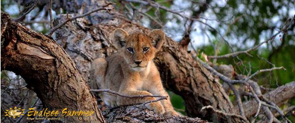 Lion cub seen in Kruger Park on South African Safari