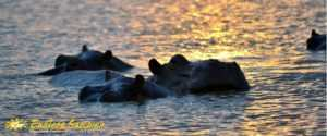 Hippos on the St. Lucia estuary