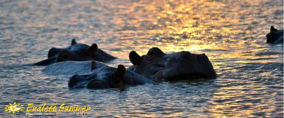 Hippos on boat cruise in St. Lucia on South African Safari