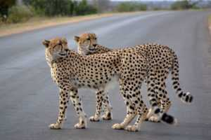 Cheetah in road Kruger Park Safari