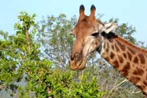 Giraffe are a favourite to be seen on your Hluhluwe iMfolozi big 5 safari