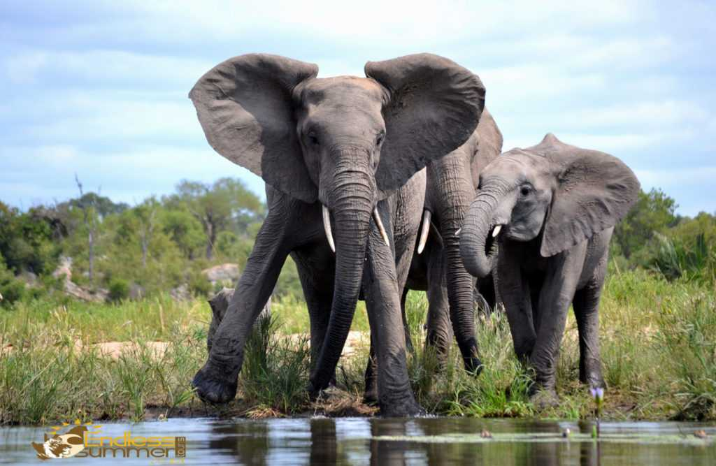 A elephant at the waterhole in the Kruger Park