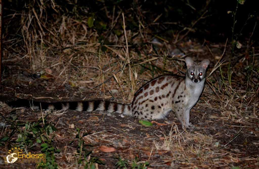Genet visits at a camp in the Kruger Park