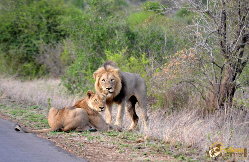 Mating pair of lions on the road in the Kruger PArk