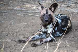 Wild dog in the Hluhluwe game reserve