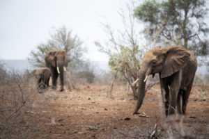 Elephant in Musth on Kruger vs Hluhluwe-iMfolozi safari experience