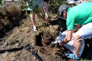 Adding some compost to the trees planted during arbor week